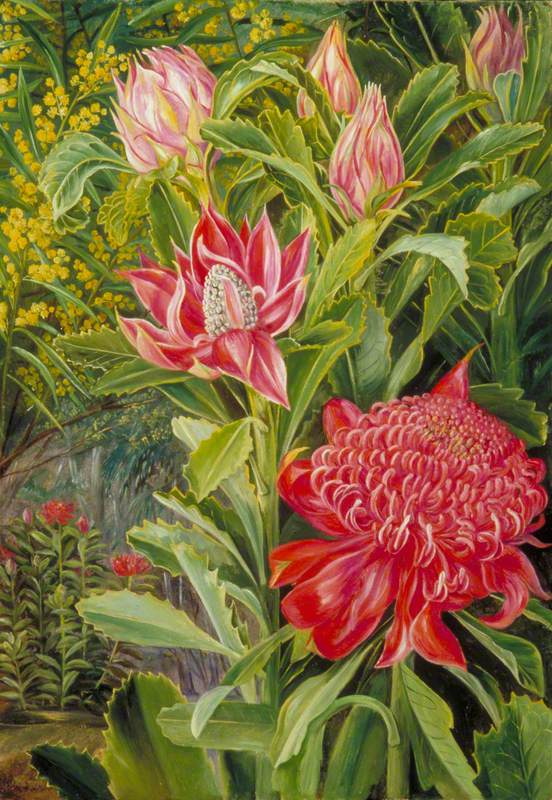Flowers of the Waratah, of New South Wales