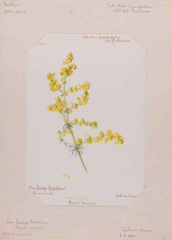Our Lady's Bedstraw