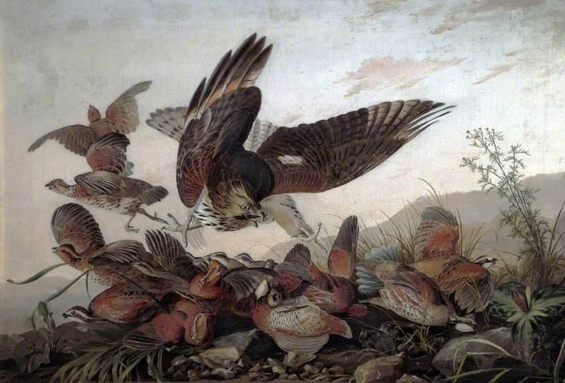 Hawk Attacking Partridges