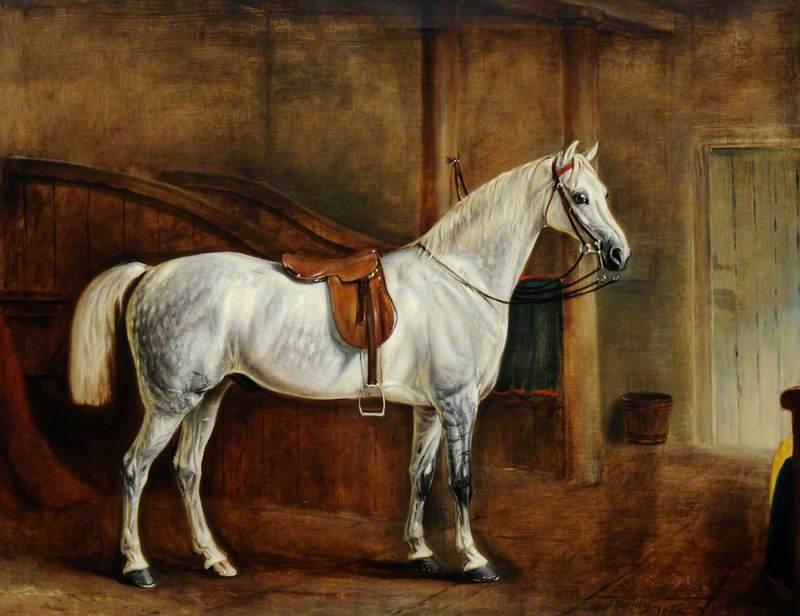 A Saddled Grey Hunter in a Loose Box