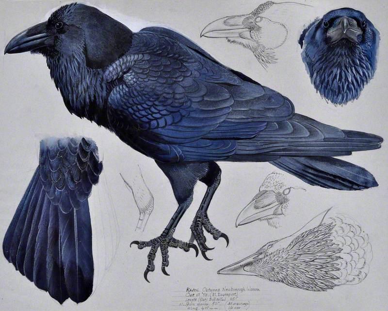 Cigfran / Raven