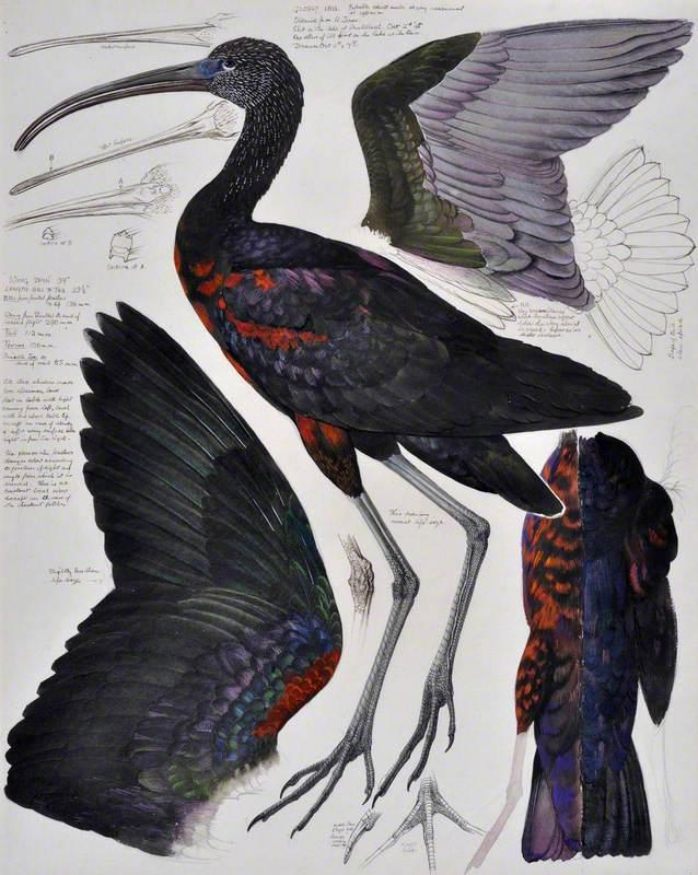 Chwibanogl Ddu / Glossy Ibis
