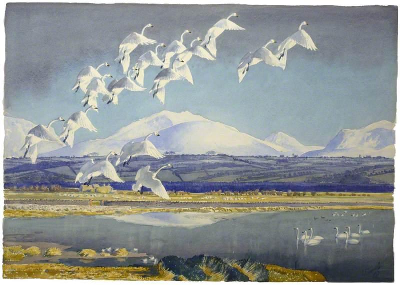 Elyrch y Gogledd yn Malltraeth / Whooper Swans at Malltraeth