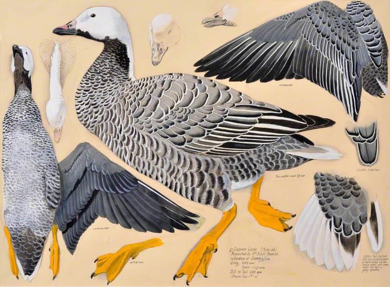 Gwydd yr Ymerawdwr / Emperor Goose