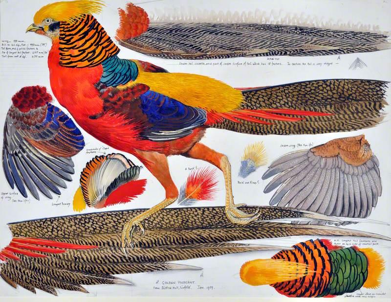 Ffesant Aur (Gwryw) / Golden Pheasant (Male)