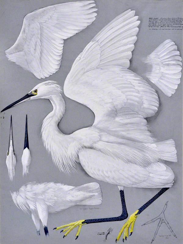Crëyr Bach / Little Egret