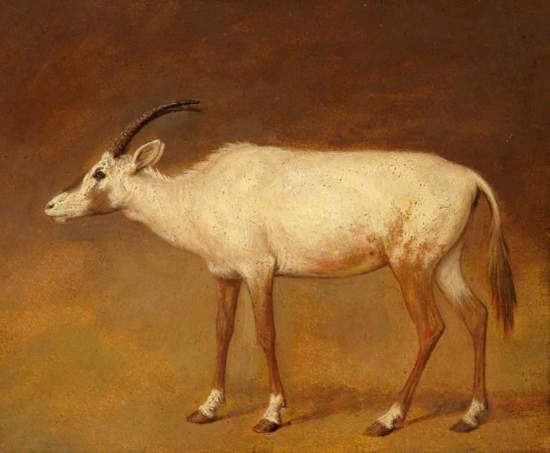 White Antelope
