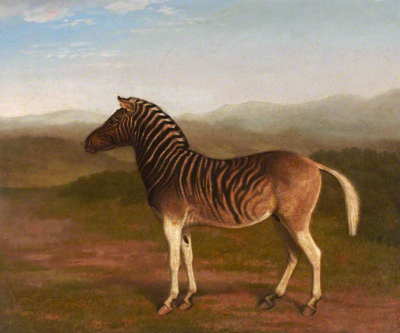 Male Quagga from Africa, the First Sire