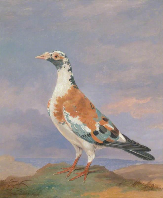 Studies of Carrier Pigeon