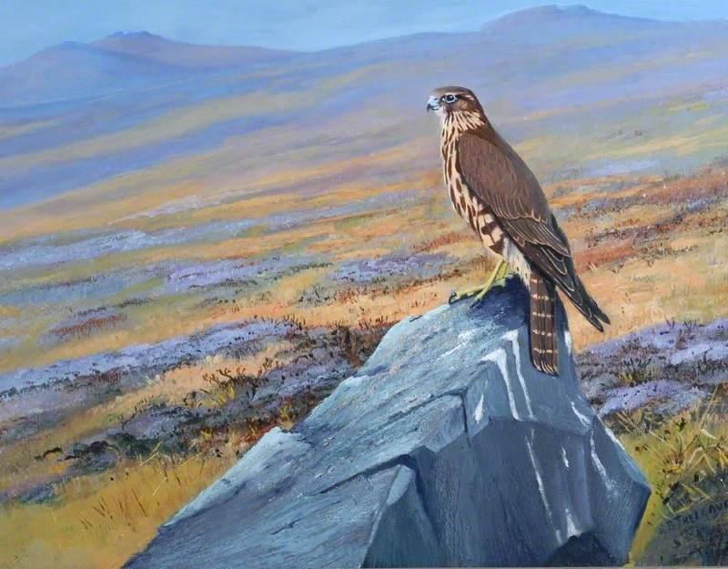 Hen 'Merlin' on the Moors