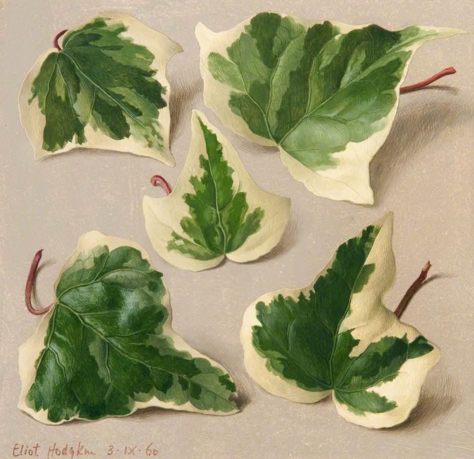 Five Variegated Ivy Leaves
