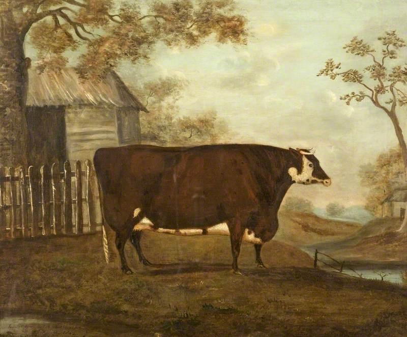 A Hereford Cow