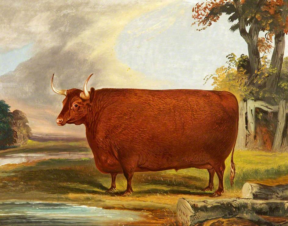 Devon Ox