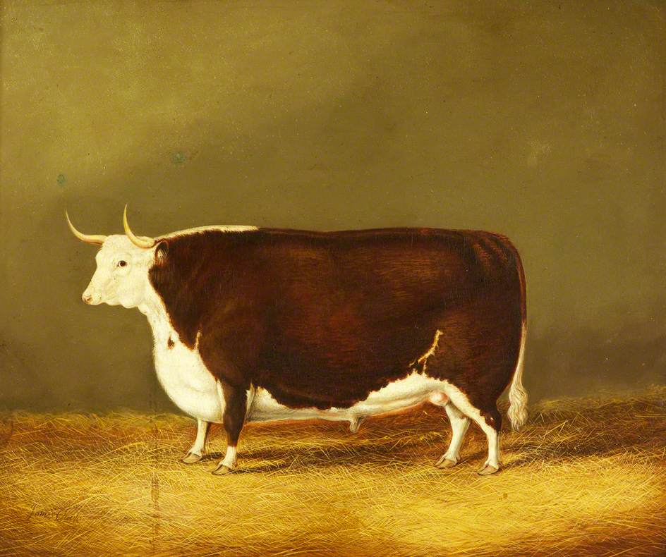 A Hereford Ox