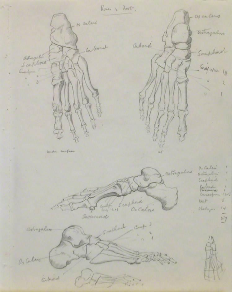 Skeletal Structures of Foot