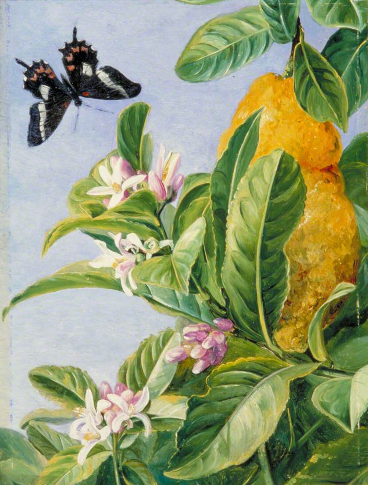 Foliage, Flowers and Fruit of the Citron, and a Butterfly, Painted in Brazil