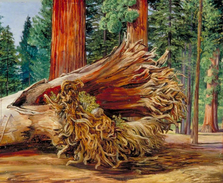 A Fallen Giant, Calaveras Grove, California