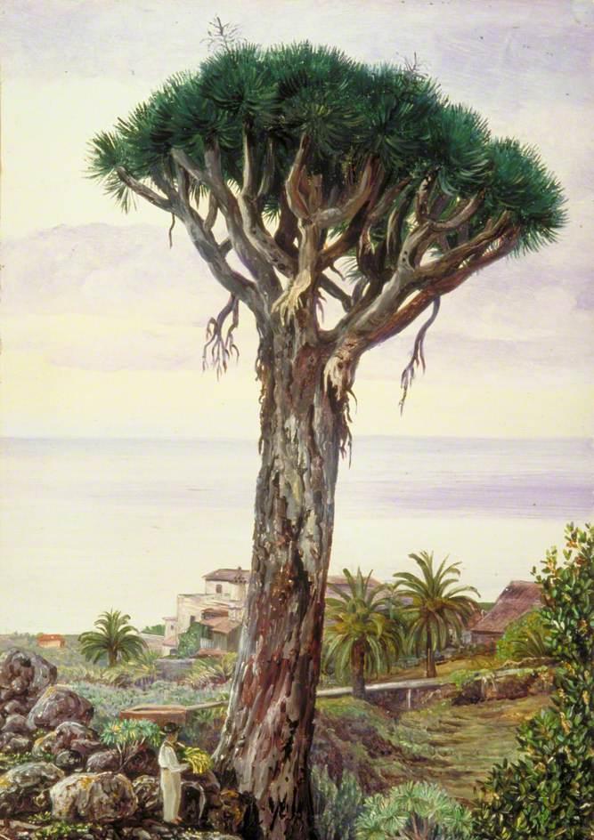 Dragon Tree at San Juan de Rambla, Teneriffe