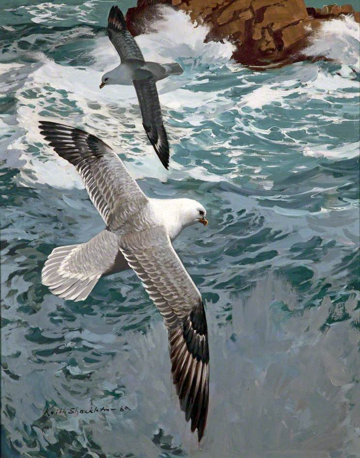 Fulmars around the Skerries